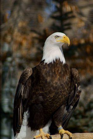 대머리 독수리, 흰 머리, 노란색 청구서, 노란 눈, 흰 꼬리 스톡 콘텐츠