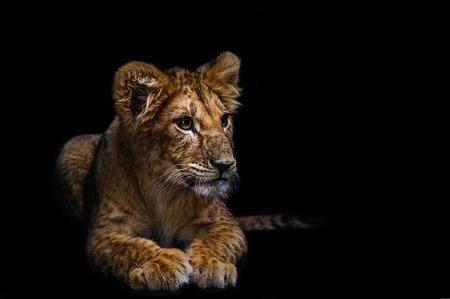 cachorro: león cachorro