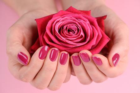 Mani che tengono un bocciolo di rosa. Finitura rosa scuro sulle unghie. Stile fresco e cura delle mani.