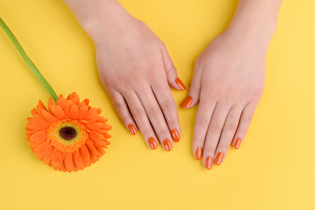 Gerbera flower and woman hands on yellow background. Nails polished with orange lacquer. Stock Photo