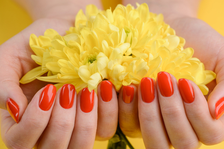 Red nails and yellow gerberas. Beautiful composition of vivid colors. Groomed and healthy womans hands. Stockfoto