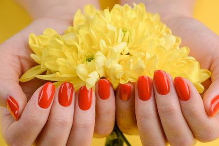 Rote Nägel und gelbe Gerbera. Schöne Komposition von lebendigen Farben. Gepflegte und gesunde Frauenhände. Standard-Bild