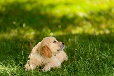 Pretty golden retriever puppy