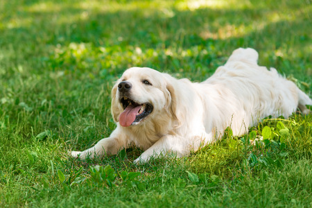 Dog is laying on meadow Stock Photo