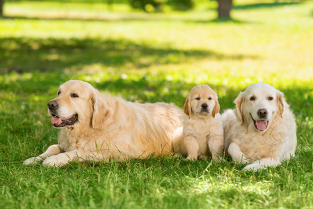 Cute puppy and its parents Stock Photo