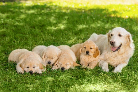 Golden retriever family outdoors