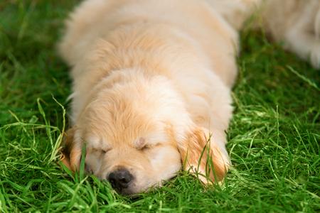 Closeup on a sleeping puppy Stock Photo