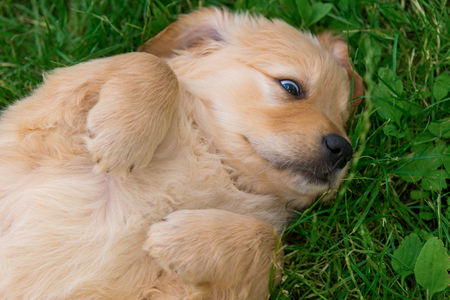 Little doggy rolling on grass