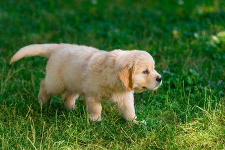 Little puppy creeping on lawn. Cute young golden retriever dog is having fun outdoors. Tiny living wonder.