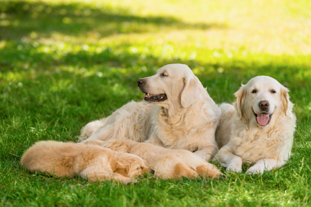 Portrait of golden retriever family. Adult dogs are laying next to their litter of two sleeping puppies. Calm and harmony on a sunny summer day in the park. 免版税图像