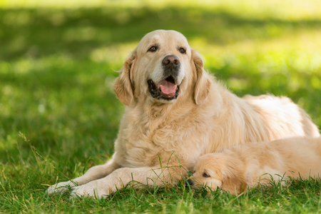 Golden retriever father and its pup Stockfoto