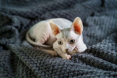 Adorable Sphynx cat having rest 版權商用圖片