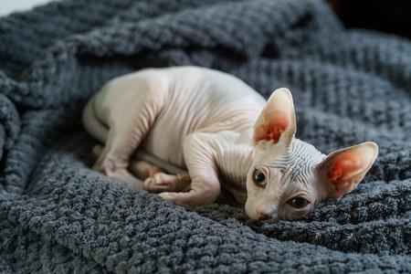 Cute hairless kitten on blanket 版權商用圖片