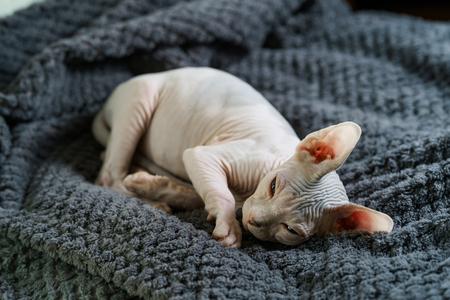 Sphynx cat having a rest