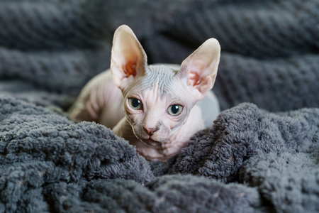 Beautiful Sphynx cat on blanket