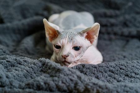 Sphynx kitten with wary look