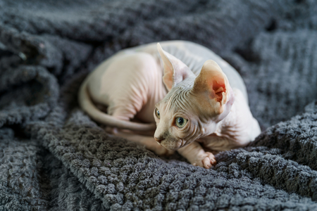 Cute Sphynx cat laying on blanket