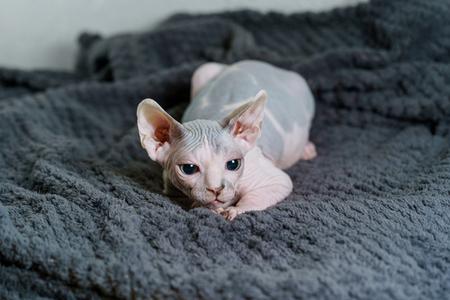 Playful Sphynx cat hunting Stock Photo - 115105368
