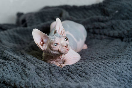 Gorgeous Sphynx cat 版權商用圖片