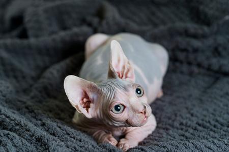 Close up on Sphynx cat Фото со стока