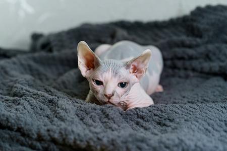 Stalking look of Sphynx kitten Stock Photo
