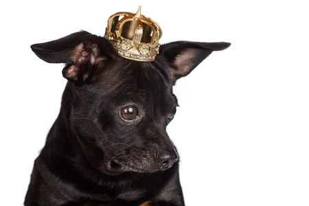 Chihuahua dog with golden crown