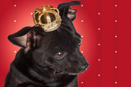 Chihuahua dog with a crown