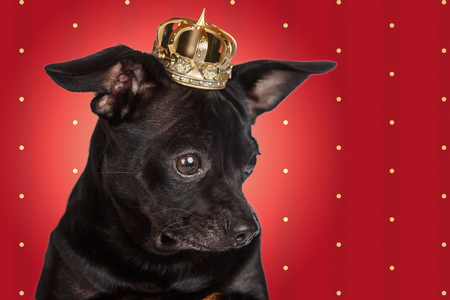Chihuahua king on red background