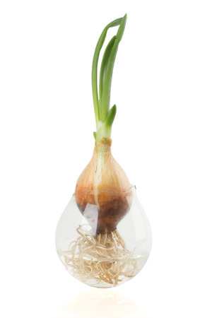 bulb and stem vegetables: onions with roots.