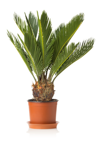 cycas: Palm tree cycas revoluta isolated on white.