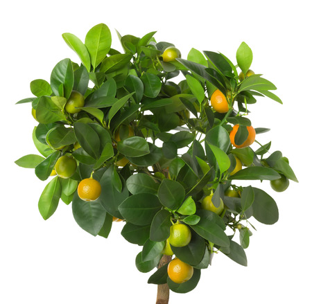 tangerine tree on the white background. photo