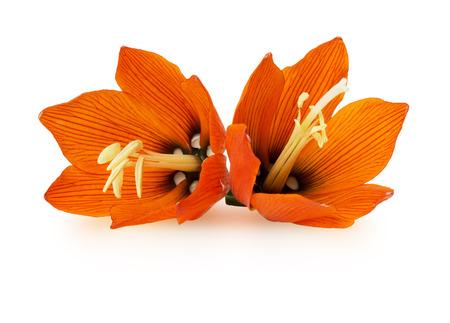 Lilis flower on a white background photo