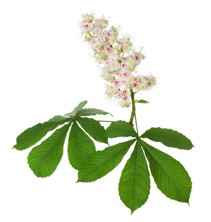 aesculus hippocastanum: chestnut bloom on the white background.