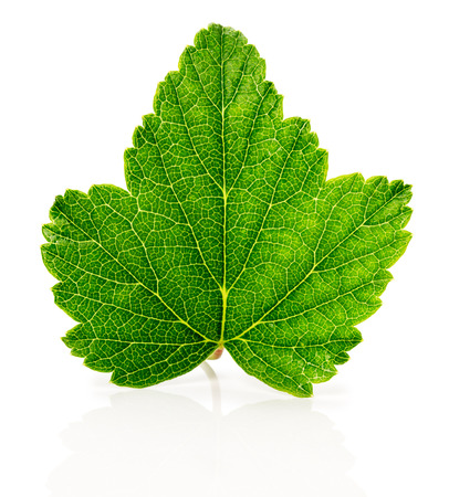 currant leaf on the white background. photo