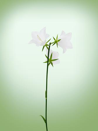 campanula: campanula flowers.