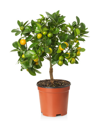 tangerine tree in the pot on the white background.