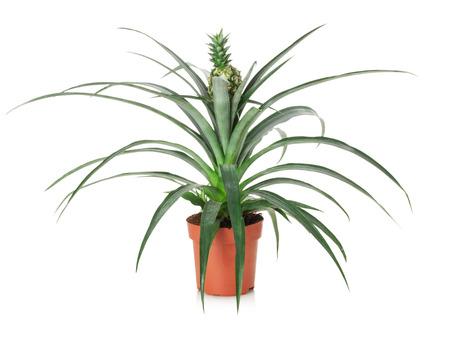 pineapple tree: �rbol de la pi�a en la olla aislados sobre el fondo blanco.