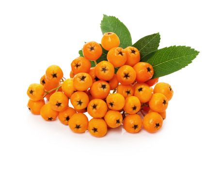 ashberry: orange ashberry isolated on the white background.