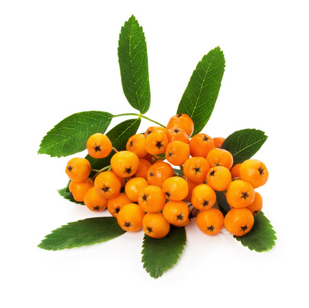 sorbus: yellow ashberry isolated on the white background.