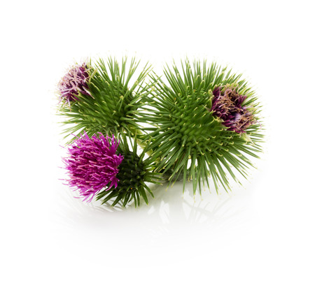 thistle flowers isolated on the white background. Stock Photo