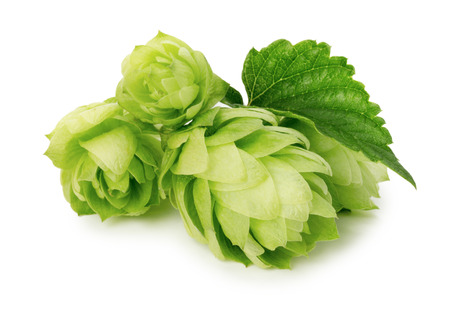 hops: green hops isolated on the white background