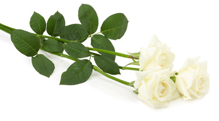 funeral background: wight roses isolated on the white background.