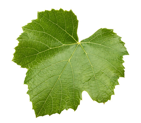 grape leave isolated on the white background.