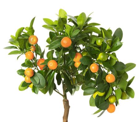 tangerine tree: tangerine tree isolated on the white background.