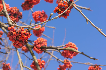 branches with red ash. photo