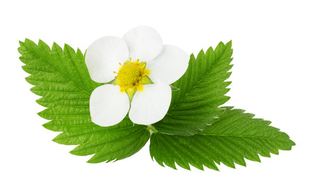 strawberry flowers and leaves isolated on the white background.