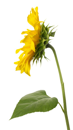 sunflower isolated: sunflower isolated on the white background.