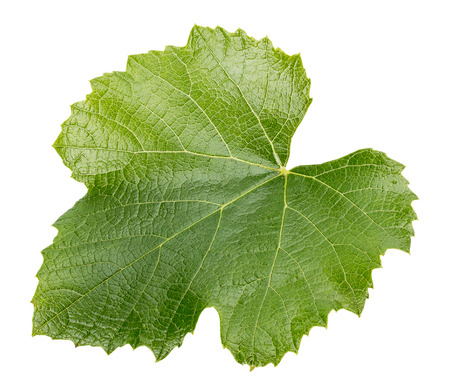 uvas: hoja de uva aislado en el fondo blanco.