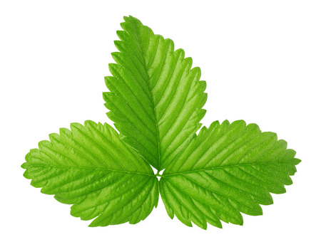 fresh strawberries: strawberry leaf isolated on the white background.