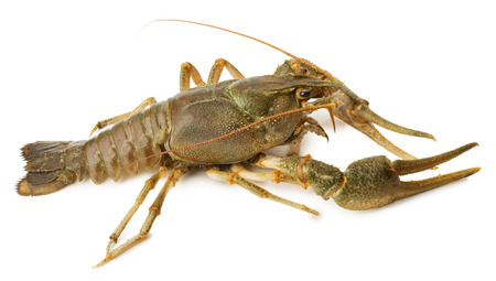 lobster isolated: river lobster isolated on the white background.